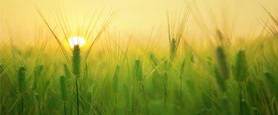 Des chercheurs de l'Institut national de recherche agronomique (Inra) et de l'Université de Rennes 1 mettent en évidence, dans une étude publiée le 16 juillet dans la revue Nature Sustainability, que l'agriculture biologique (AB) favorise la régulation naturelle des bioagresseurs - pathogènes, ravageurs et plantes adventices.