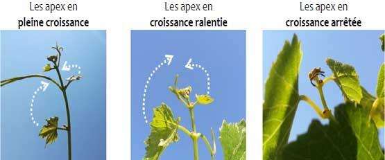 Apex Vigne, l'appli qui débusque le stress hydrique