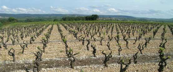 Des cépages résistants aux maladies plantés en Coeur d'Hérault