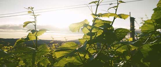 Comment améliorer l'efficacité énergétique de la viticulture