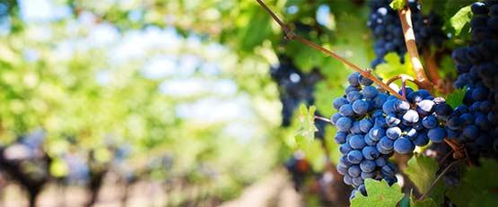 Redonner une seconde vie à l'urine pour le bien de la vigne