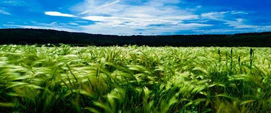 Un herbicide à base de sucre pour remplacer le glyphosate ?