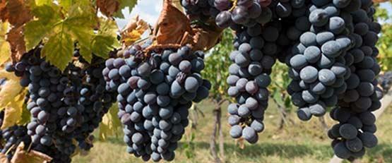 Plus de 10 % des vignes de France sont cultivés en bio