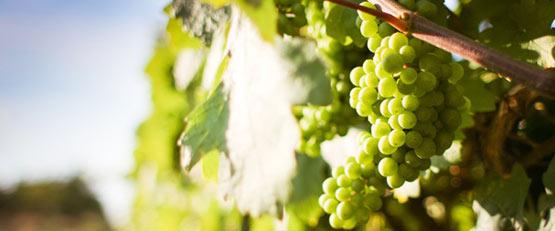Viticulture bio : le cuivre dans le collimateur de l'Europe