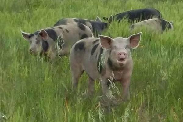 Les cochons des agriolles