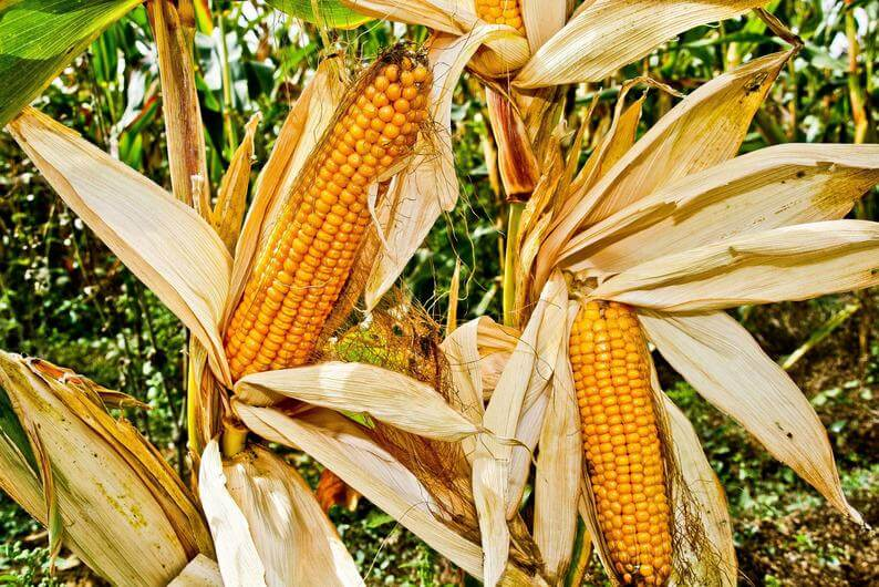 Et si les OGM ne servaient à rien ?