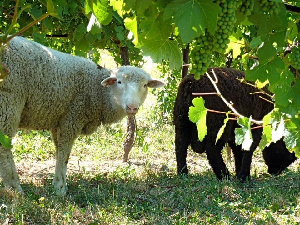Enherbement de la vigne Photo : Anne Marie Parent