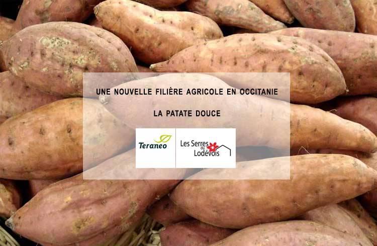 Les Serres du Lodévois à l'origine d'une filière de la patate douce en Occitanie